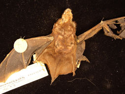 Image of Seminole Bat