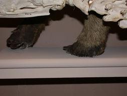 Image of <i>Myrmecophaga <i>tridactyla</i></i> tridactyla Linnaeus 1758