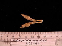 Image of <i>Cryptomys hottentotus whytei</i> Thomas 1897