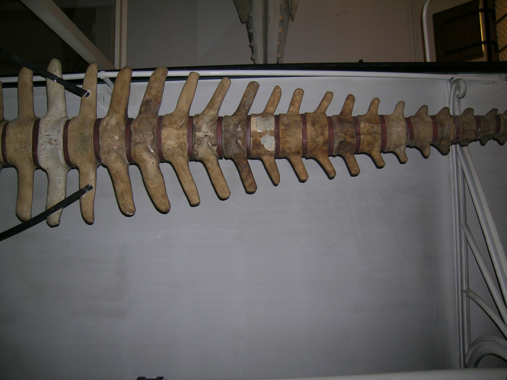 Image of Steller's Sea Cow