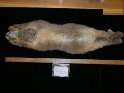 Image of Riverine or bushman rabbit
