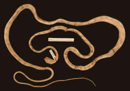 Image of Schultz' Blunt-headed Tree Snake