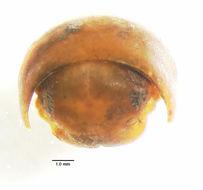 Image of <i>Titsonobolus uncopygus</i> Chamberlin 1920
