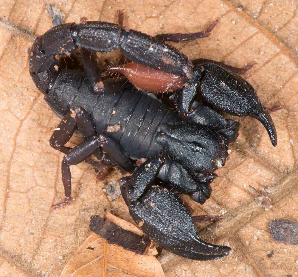 Image of <i>Brotheas granulatus</i> Simon 1877