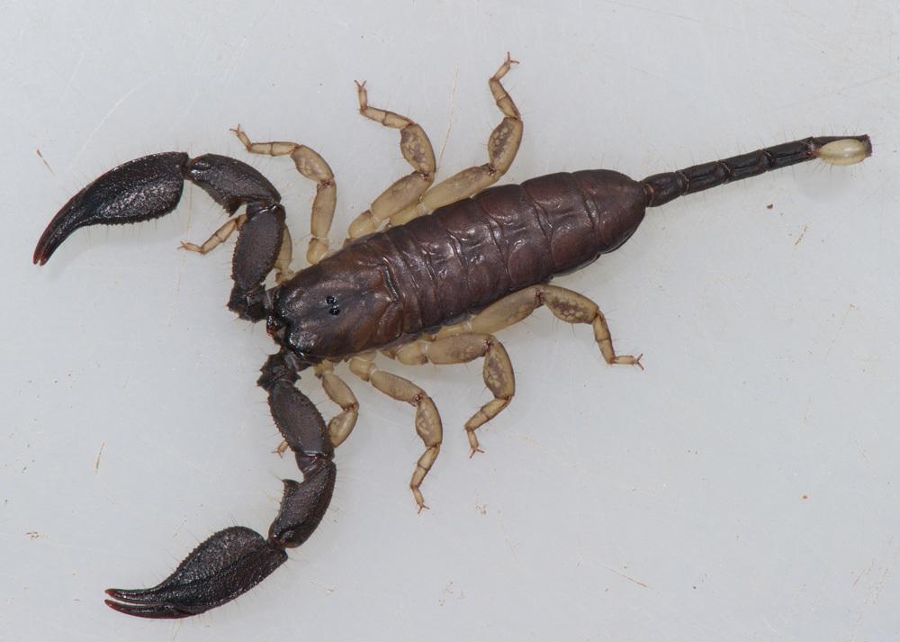 Opisthacanthus madagascariensis Kraepelin 1894 - Encyclopedia of Life