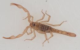 Image of <i>Troglokhammouanus steineri</i> Lourenço 2007