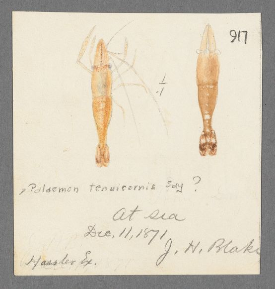 Image of brown glass shrimp