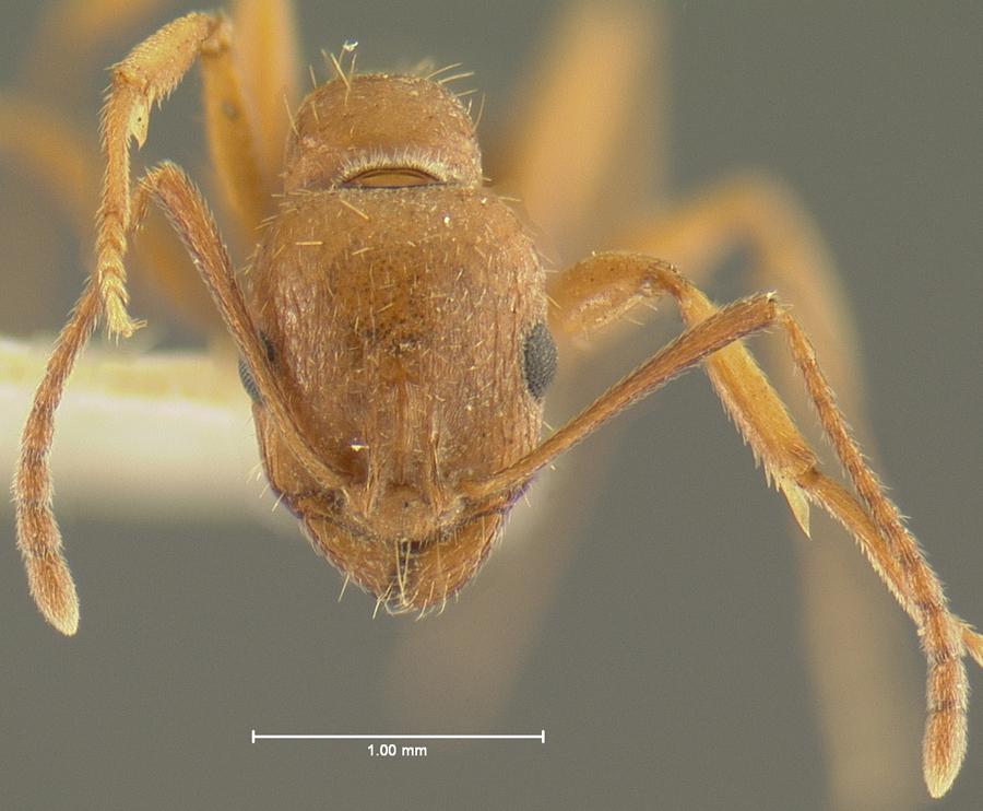 Image of <i>Aphaenogaster uinta</i> Wheeler 1917