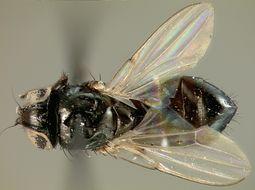 Image of <i>Milichiella bisignata</i> Melander 1913