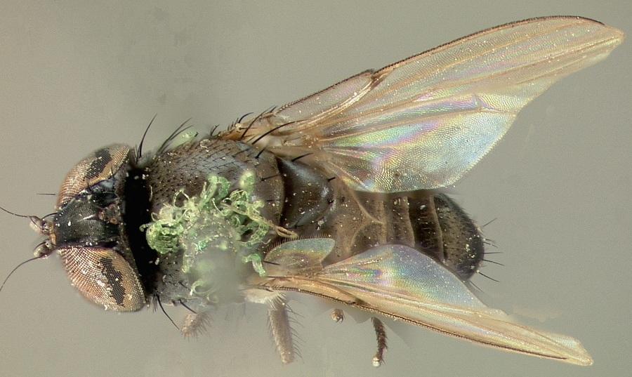 Image of <i>Milichiella argenteocincta</i> Johnson 1919
