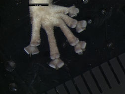 Image of <i>Afroedura <i>karroica</i></i> ssp. karroica