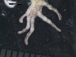 Image of <i>Bunopus spatalurus</i> ssp. <i>hajarensis</i> Arnold 1980