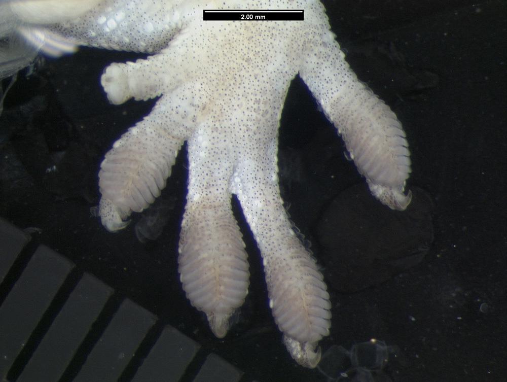 Image of <i>Bavayia robusta</i> Wright, Bauer & Sadlier 2000