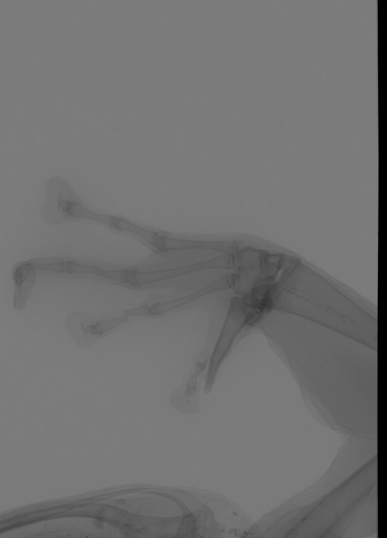 Image of <i>Petropedetes vulpiae</i> Barej, Rödel, Gonwouo, Pauwels, Böhme & Schmitz 2010