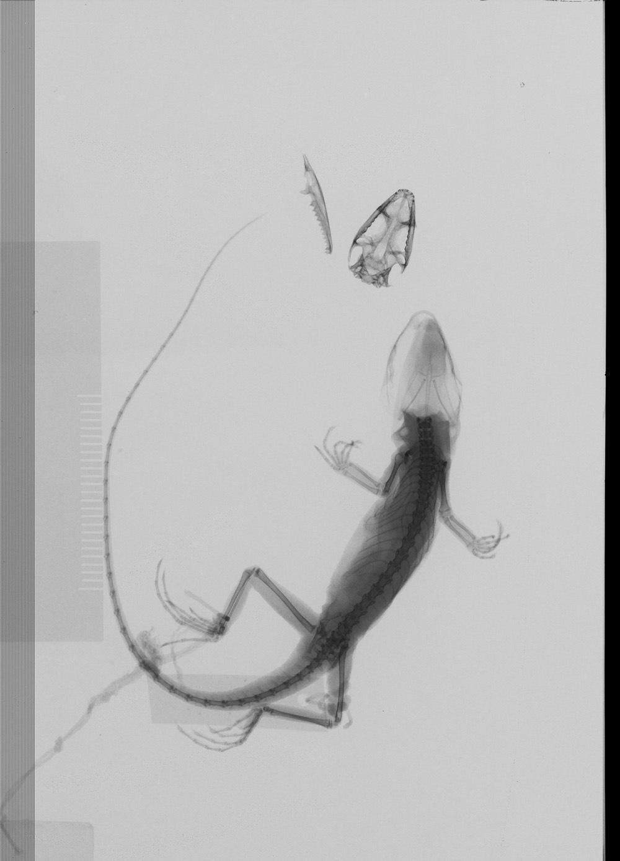 Image of <i>Ptyctolaemus collicristatus</i> Schulte & Vindum 2004