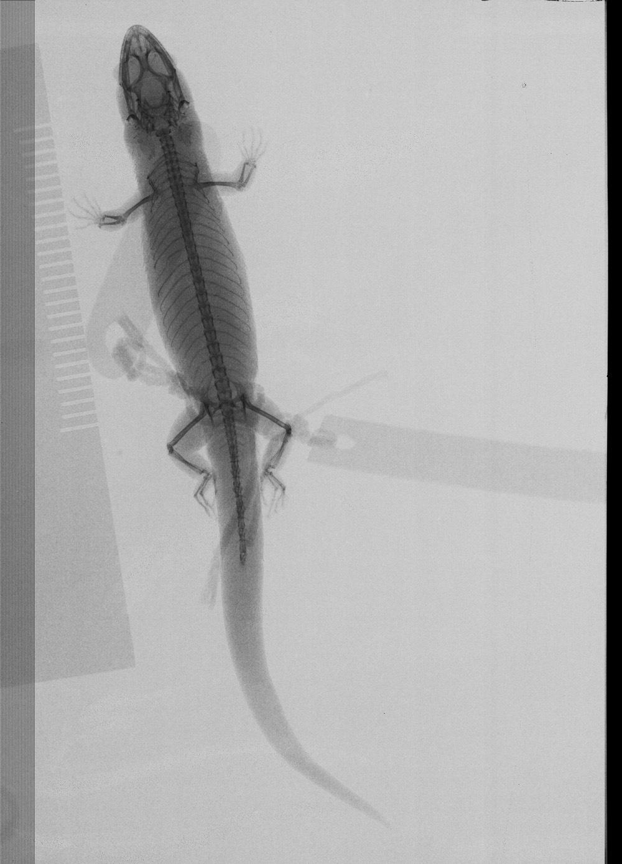 Image of Roosevelt's Least Gecko