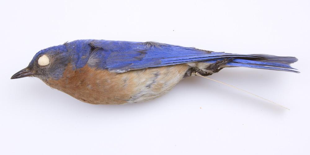 Image of <i>Sialia <i>sialis</i></i> sialis (Linnaeus 1758)