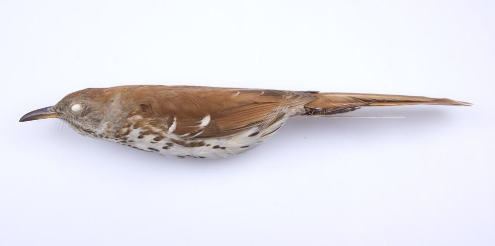 Image of <i>Toxostoma <i>rufum</i></i> rufum (Linnaeus 1758)