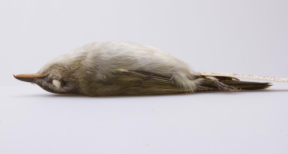 Image of <i>Vireo <i>olivaceus</i></i> olivaceus (Linnaeus 1766)