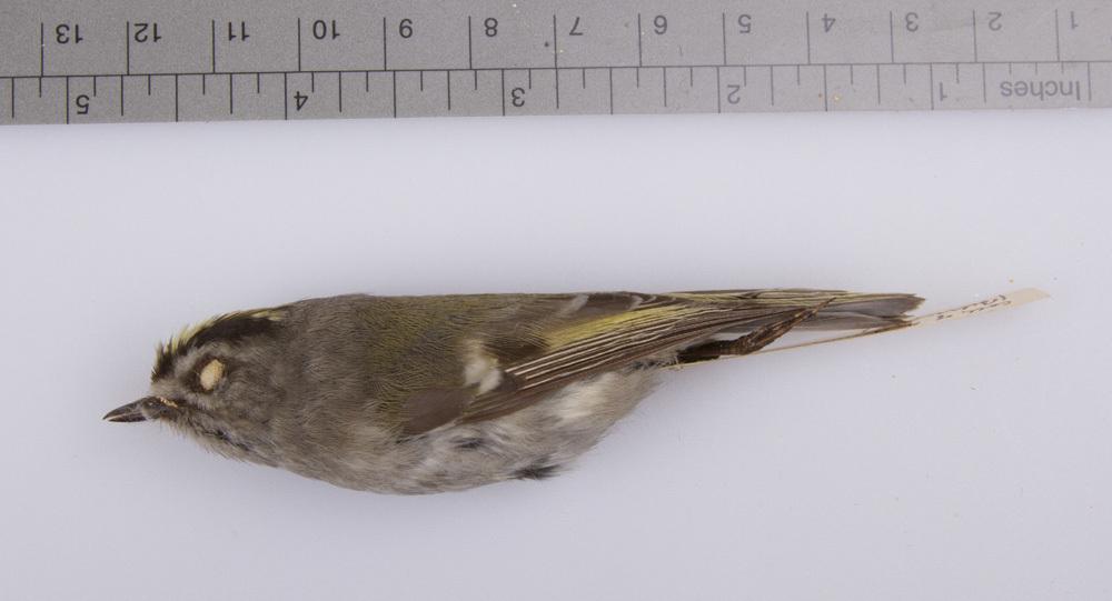 Image of Golden-crowned kinglet