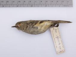 Image of Ruby-crowned kinglet