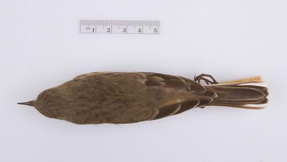 Image of <i>Anthus spinoletta rubescens</i>