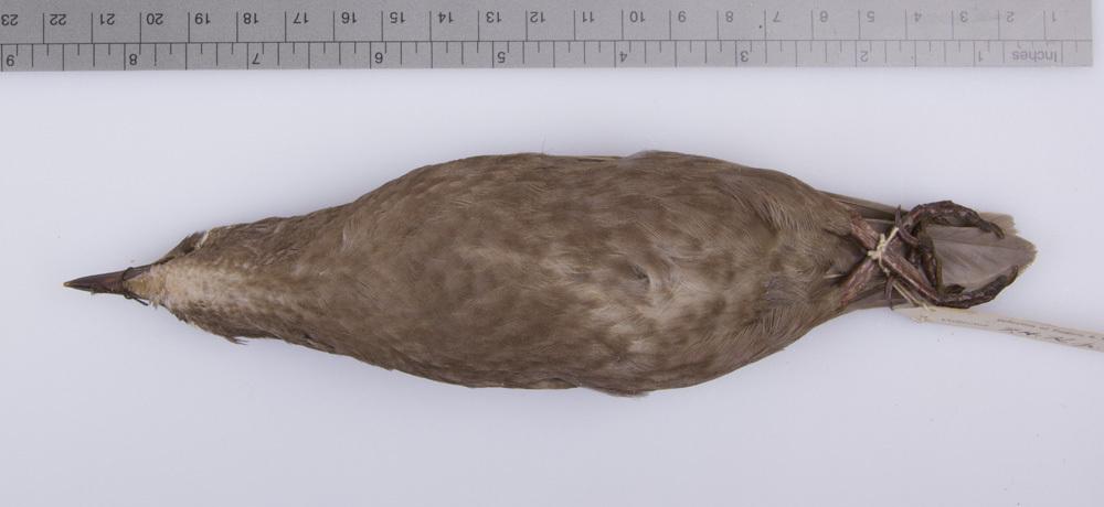 Image of <i>Sturnus <i>vulgaris</i></i> vulgaris Linnaeus 1758