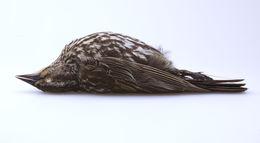 Image of <i>Agelaius <i>phoeniceus</i></i> phoeniceus (Linnaeus 1766)