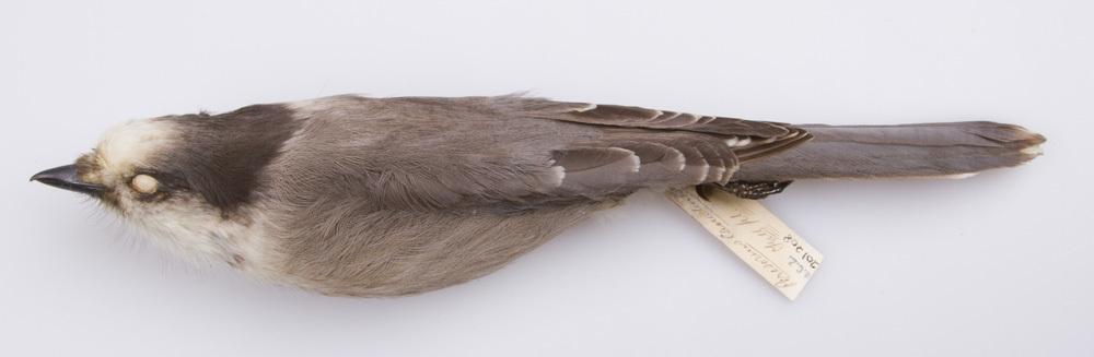 Image of <i>Perisoreus <i>canadensis</i></i> canadensis (Linnaeus 1766)