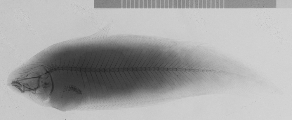 Image of straightmouth tonguefishes