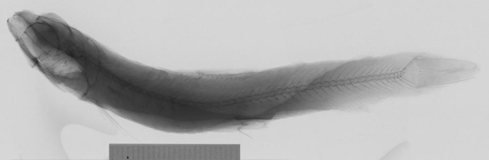 Image of <i>Bathylagus greyae</i>