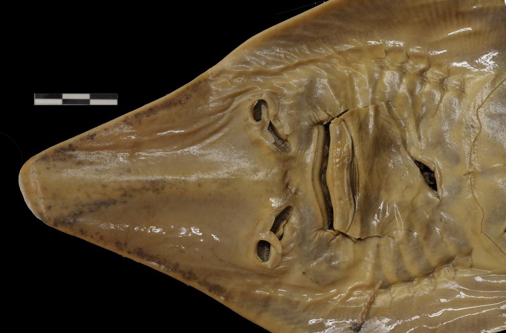 Image of <i>Rhinobatos lentiginosus</i> Garman 1880
