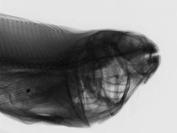 Image of Notothenia coriiceps