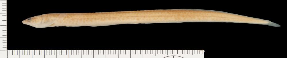 Image of <i>Mastacembelus polli</i> Vreven 2005