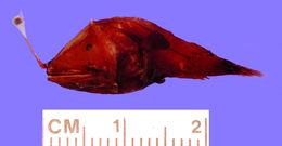Image of <i>Dolopichthys karsteni</i> Leipertz & Pietsch 1987