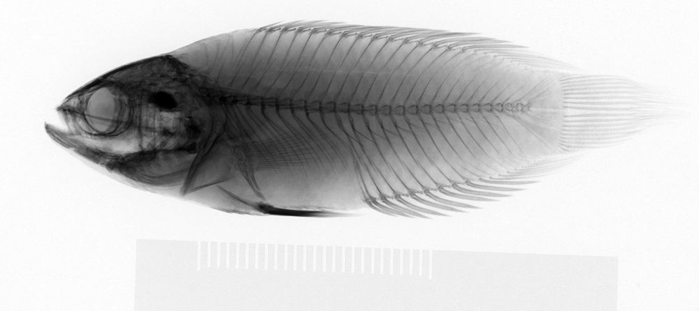 Image of Ocellated labyrinth fish