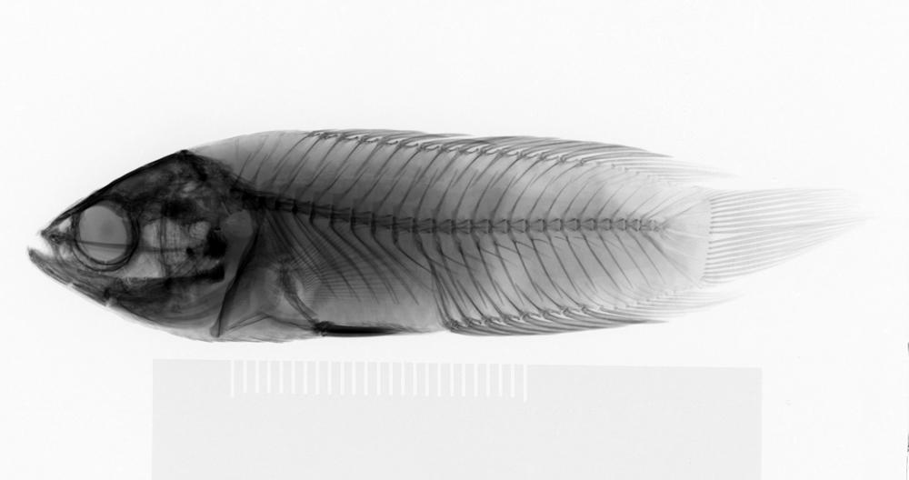 Image of Ctenopoma