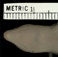 Image of Stimpson's Skink