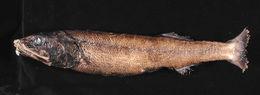 Image of blackhead salmon