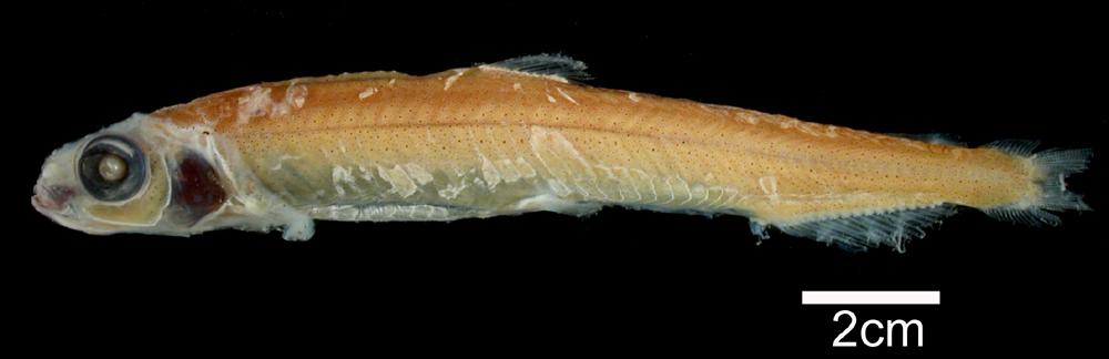 Image of <i>Bathylagus longirostris</i>