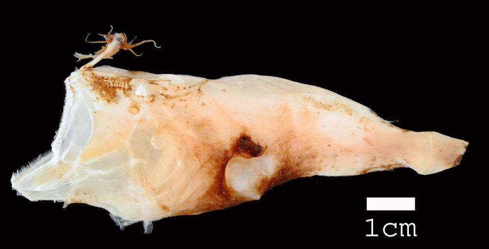 Image of <i>Pentherichthys atratus</i> (Regan & Trewavas 1932)