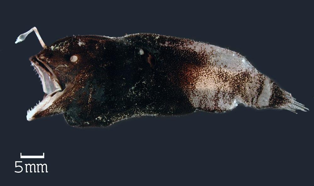 Image of <i>Spiniphryne gladisfenae</i> (Beebe 1932)
