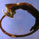 Image of gulper eels
