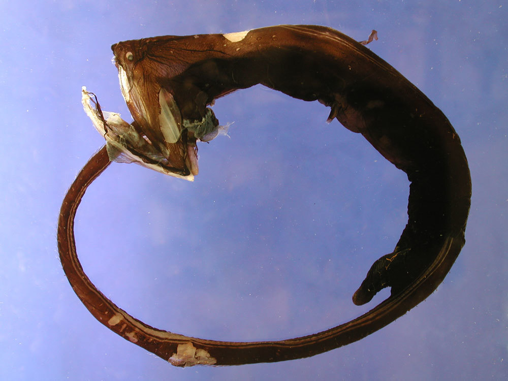 Image of Gulper Eel