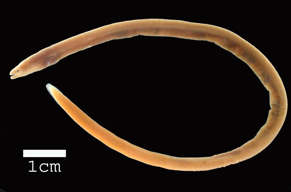 Image of Longfin spaghetti eel