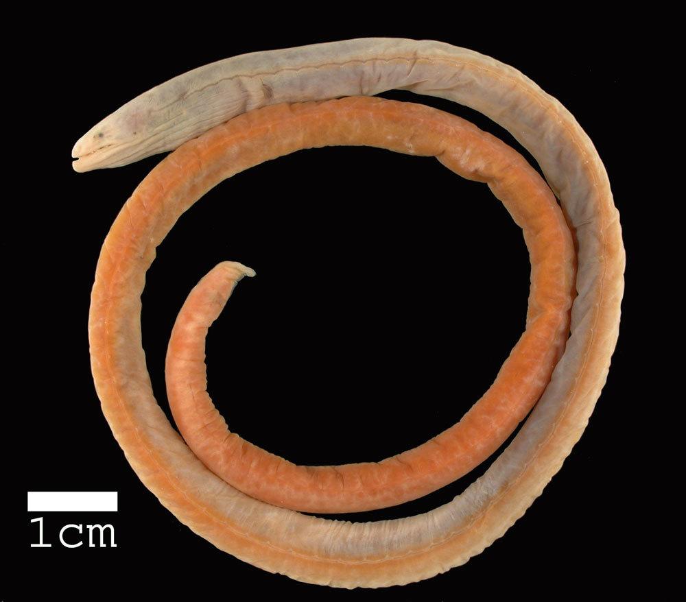 Image of Intermediate thrush-eel