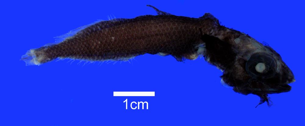 Image of <i>Einara macrolepis</i> (Koefoed 1927)