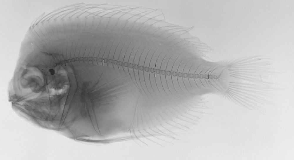 Image of <i>Platyberyx opalescens</i> Zugmayer 1911
