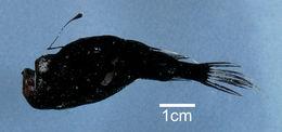 Image of Stargazing Seadevil