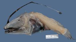 Image of <i>Dolopichthys danae</i> Regan 1926